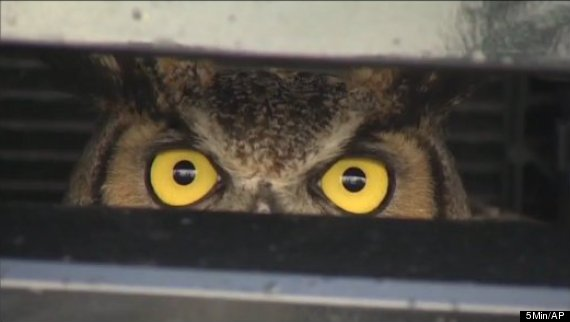 owl trapped in suv grille florida turnpike horned