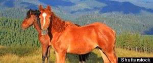 HORSEMEAT BEEF ALTERNATIVE