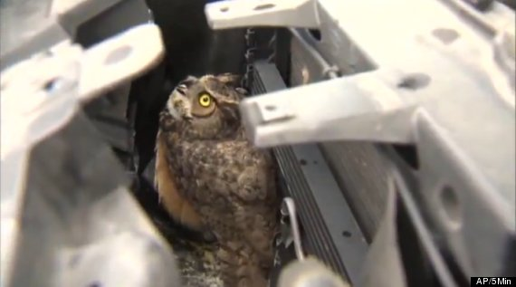 owl caged in car