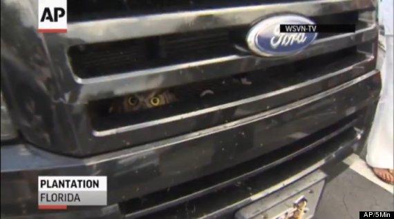 owl stuck in car