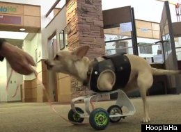 Armless Therapy Dogs Hop on Hind Legs to Help