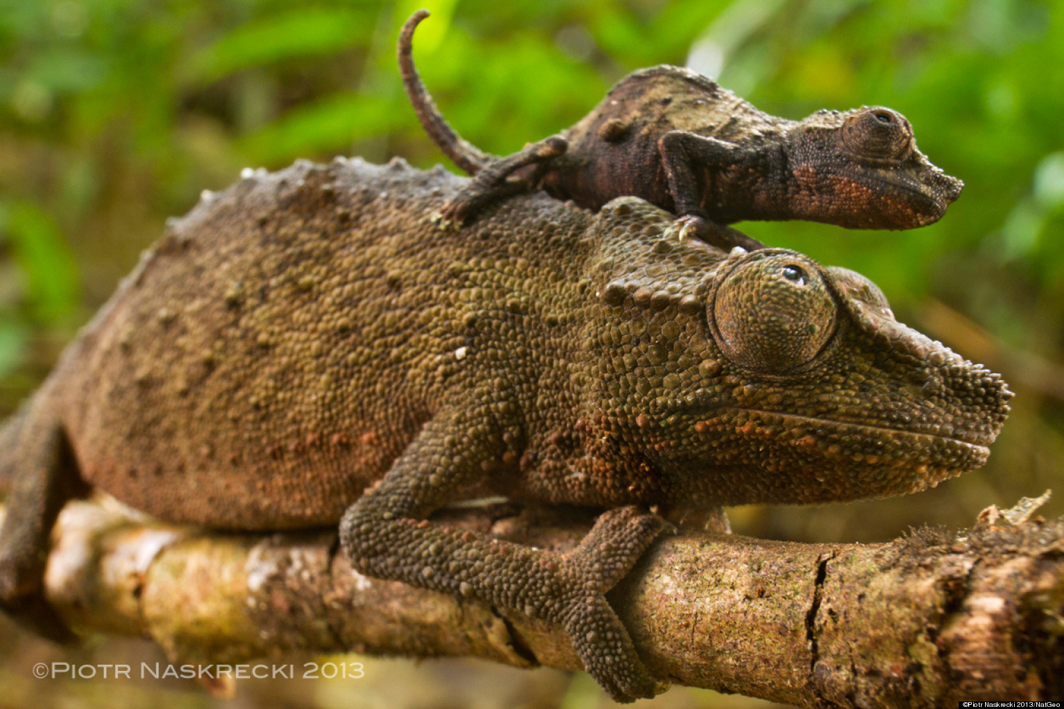 Indian Chameleon Ecosia
