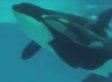 Kasatka, SeaWorld Killer Whale, Gives Birth Underwater In Amazing Video